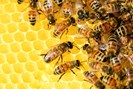 honey-bees-326337